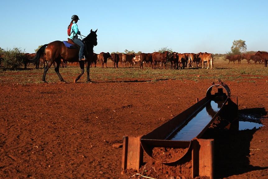 Northern cattle near a trough