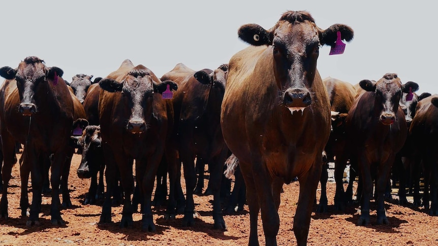 A mob of wagyu cattle standing in the daylight.