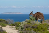 A kangaroo with low shrubs and ocean in the background.