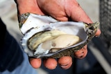 Close-up of a man holding a Pacific oyster.