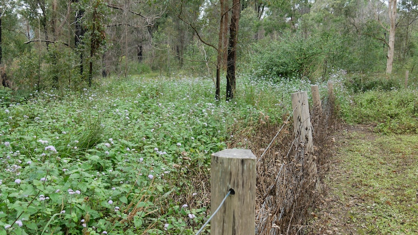 Over a wire fence is a paddock filled with bush with purple flowers.