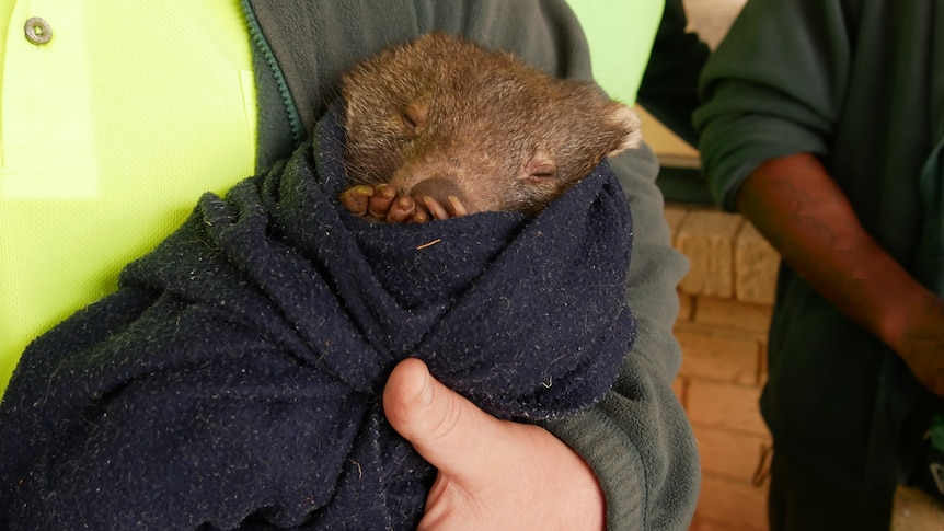 A man holds a baby wombat wrapped in a blanket