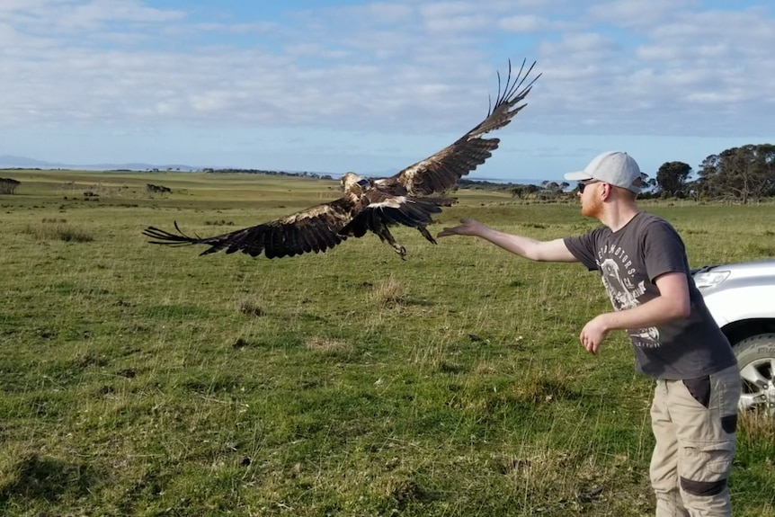Researchers release a wedge-tailed eagle.