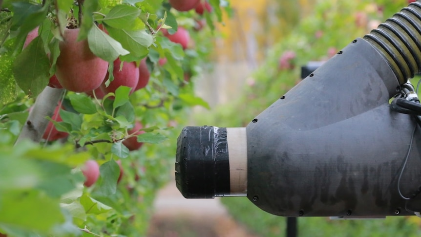 A close-up of the arm of a robotic apple picker, next to fruit on a tree.