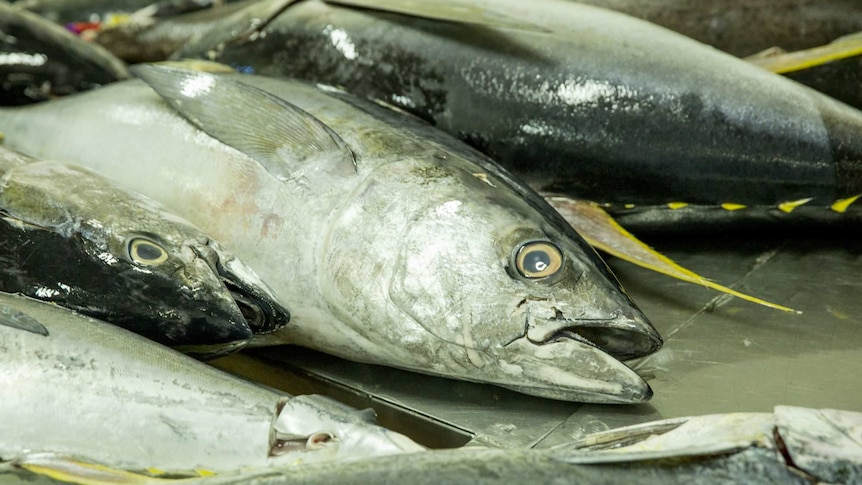A number of tuna fish sit on a table.
