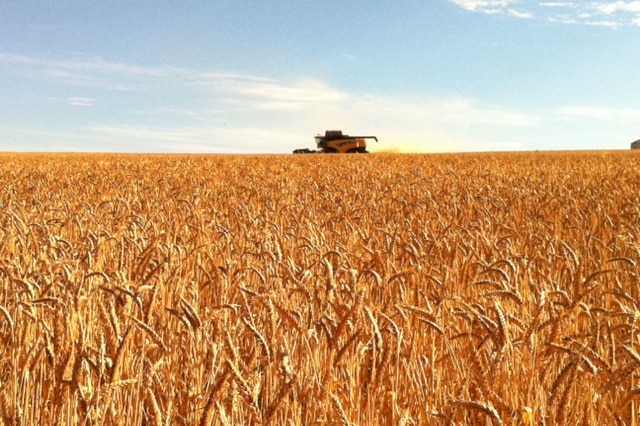 Golden coloured, ripe grain crop with header in distance against blue sky