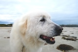 Tula the Maremma has a sniff on a beach in Warrnambool