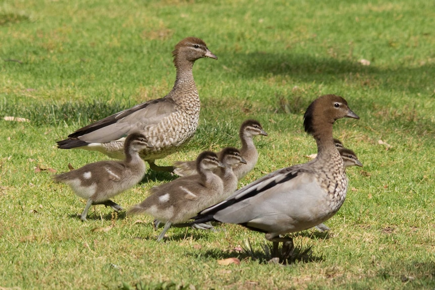 A family of wood ducks