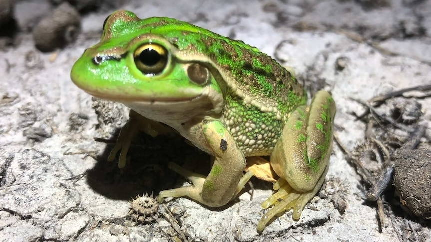 A green-coloured southern bell frog near the Murrumbidgee River