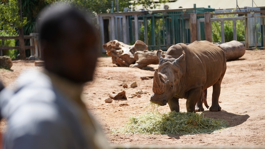 Man with Southern White Rhinoceros
