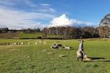 A farmer walks across a green, grassy sheep paddock.