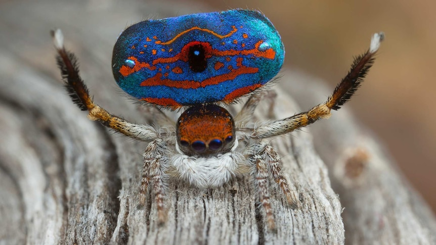 Maratus gemmifer, a new species of the peacock spider