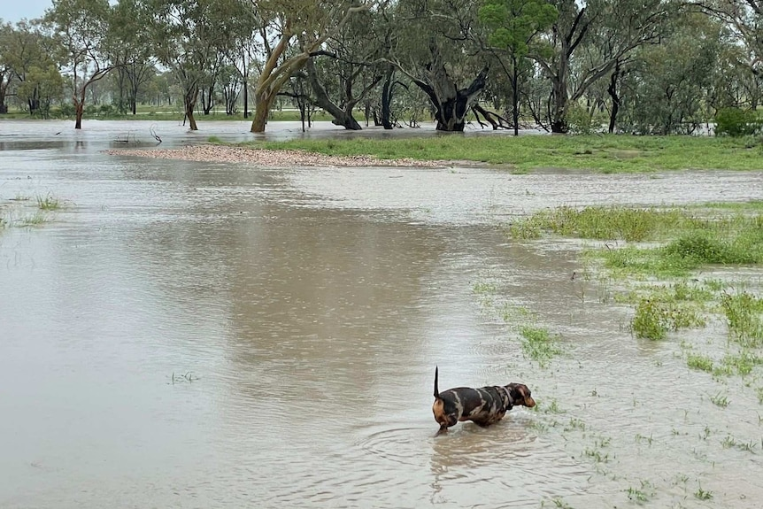 Flooded paddocks with a dog on dry land