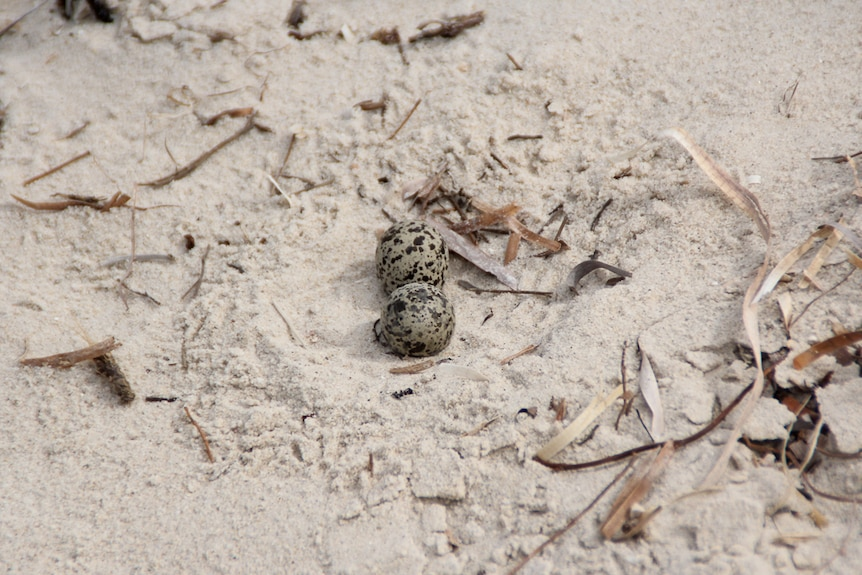 A red-capped plover nest in the dunes.