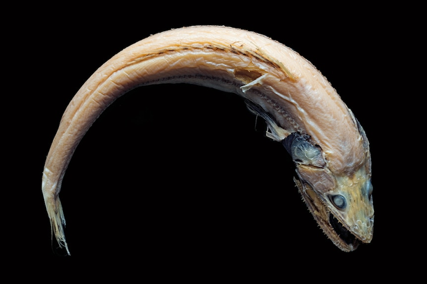 Deep sea fish from the Australia's eastern abyss.