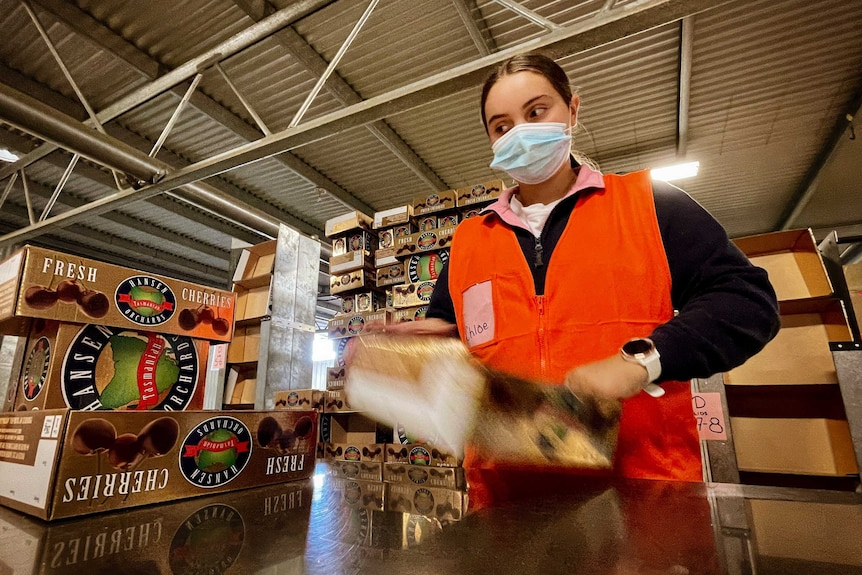 Young woman wearing a face mask working in a cherry packing shed.