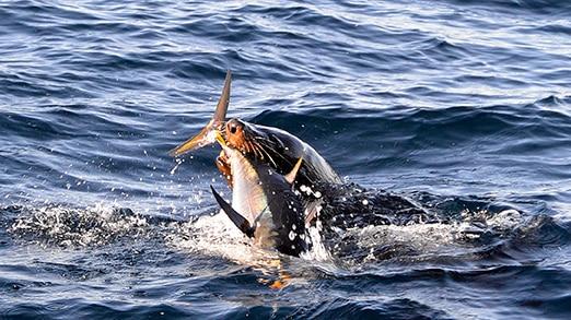 A seal grabs a fish