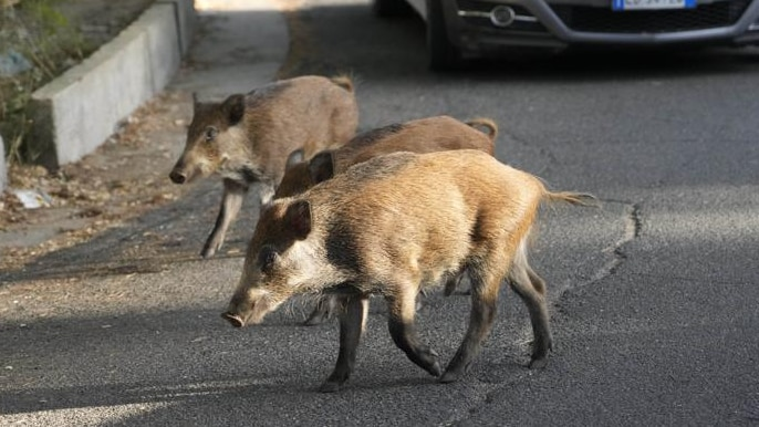White and brown wild boars cross in front of traffic in Rome