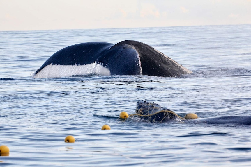 A whale calf caught in a shark net with mother whale swimming nearby.