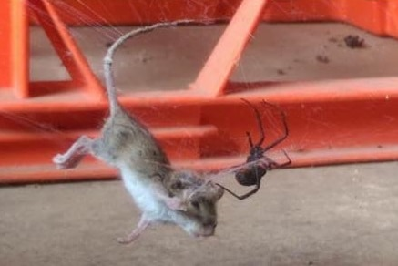 A field mouse in a redback spider's web, tended by a redback spider