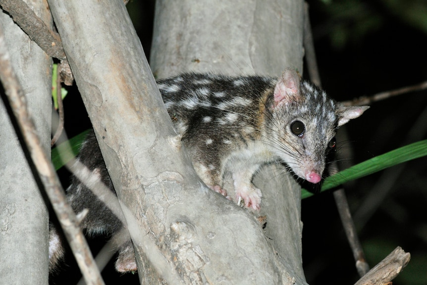 A small creature with spotted fur sits between two tree branches.