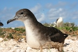 A Wedge-tailed shearwater sits on the sand.