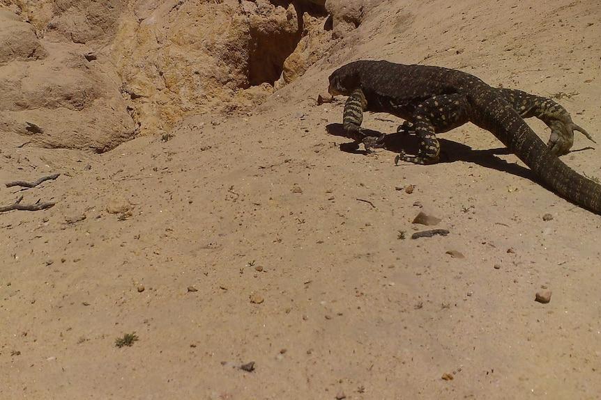 A goanna walking towards a large hole in dry sandy ground.
