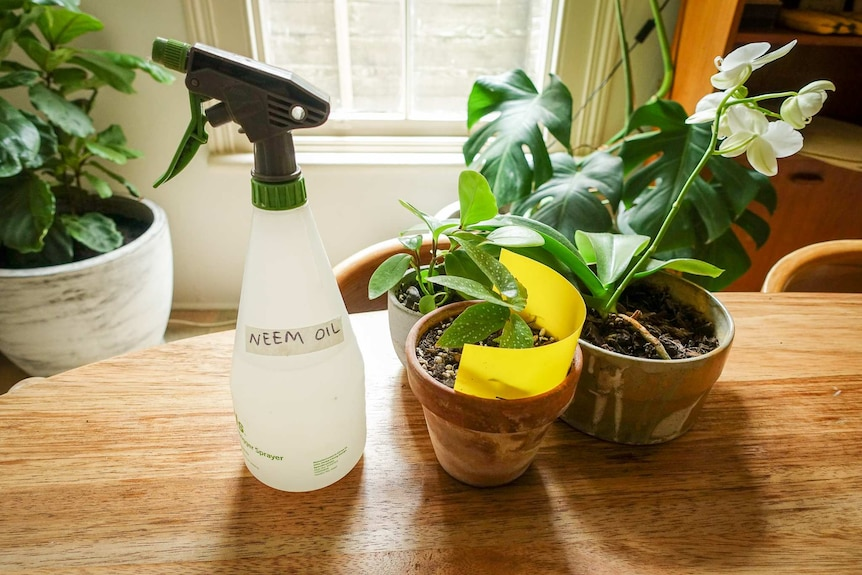 A spray bottle of diluted neem oil and an indoor plant with a yellow sticky trap, two ways to deal with fungus gnats.