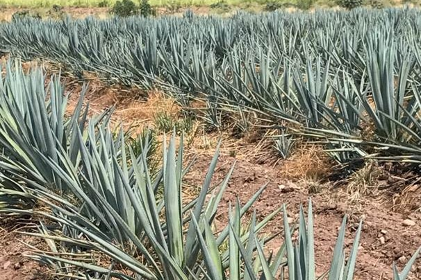 Rows of spiky, blue agave plants with sugar cane plants in the background