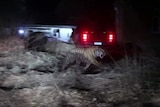 Stray Siberian tiger caused panic in Chinese village