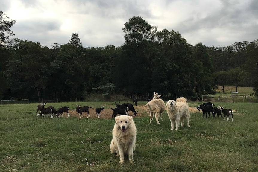 A Maremma sheepdog looks at the camera standing in front of the goats with another dog barking behind it.