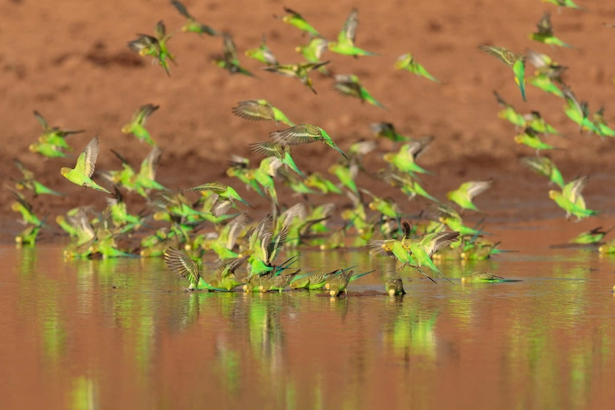 Budgies flying and dipping into a waterhole, with red dirt in the background.
