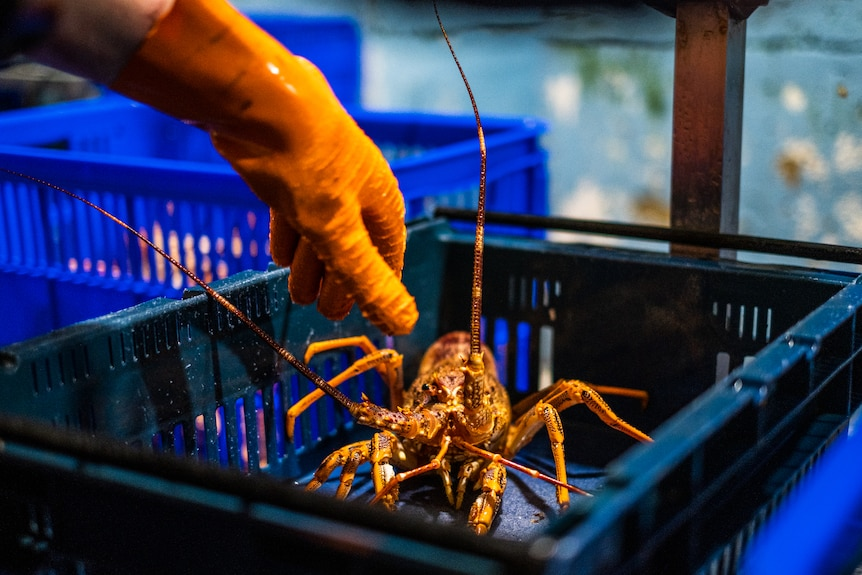 Every lobster is hand-checked for quality and size