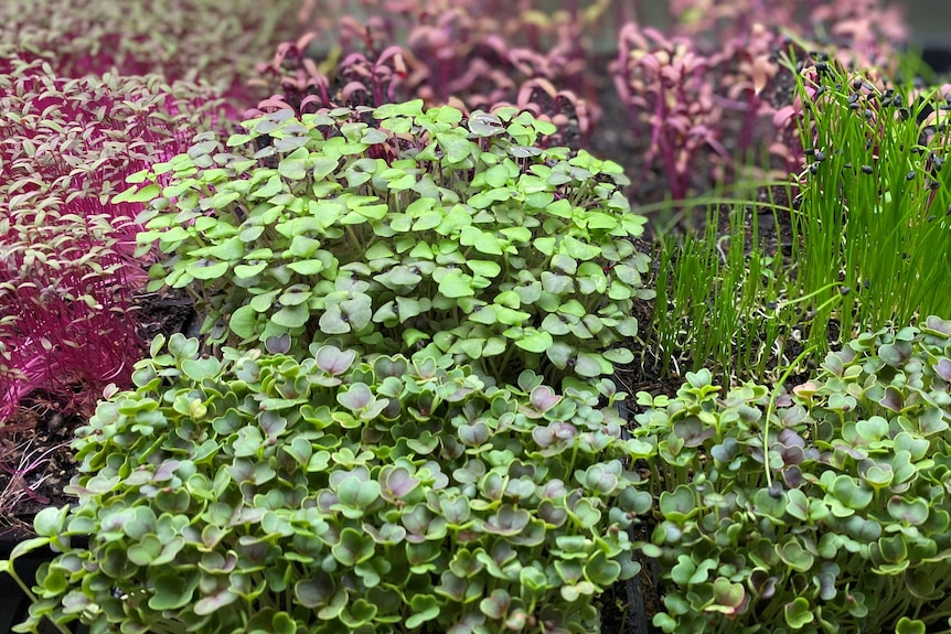 A variety of purple and green microgreens