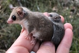 Tiny mother pygmy-possum and baby on someone's hand