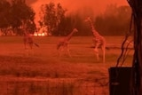Red skies and blazes in the distance, with giraffes in the foreground