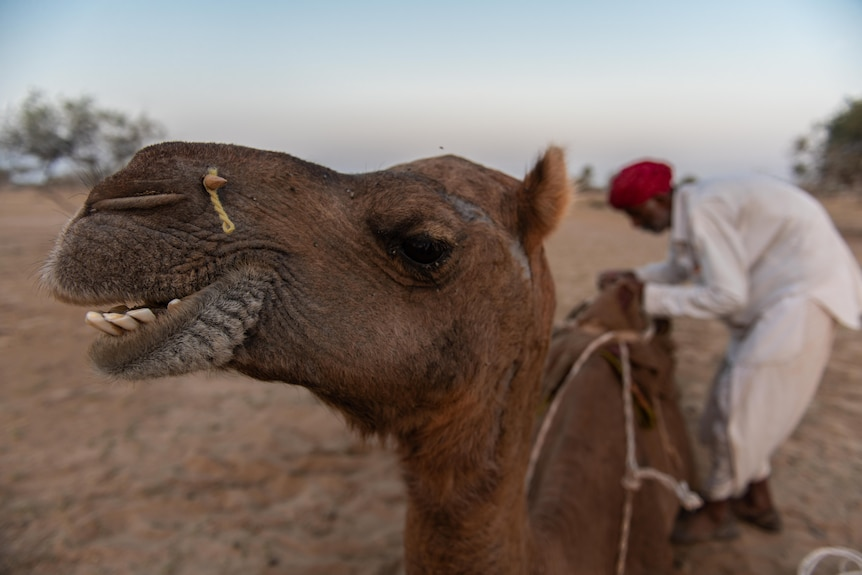 A camel's head is close to the lens.