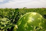 A watermelon in a field at a central Australian farm