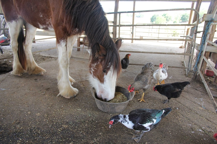 Dawn the Clydesdale