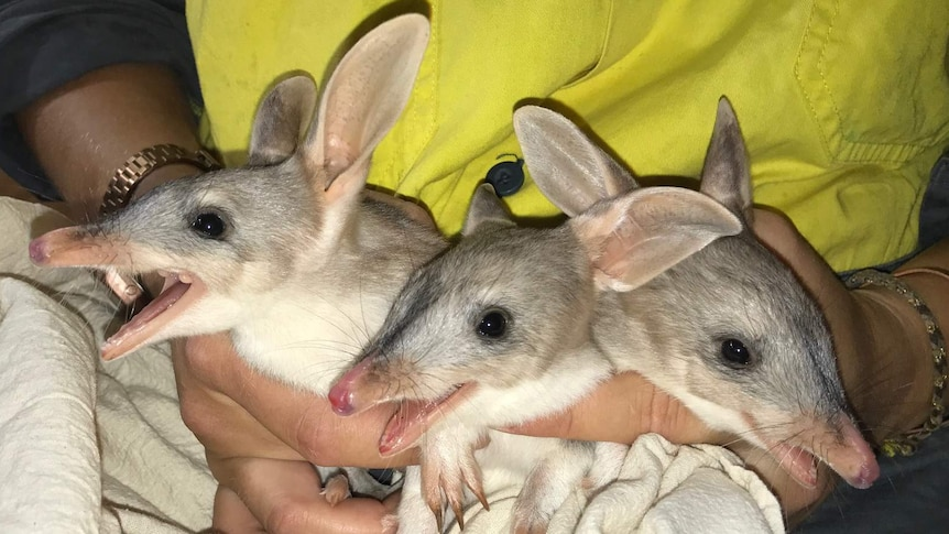 Bilby triples born at the Ipswich Nature Centre