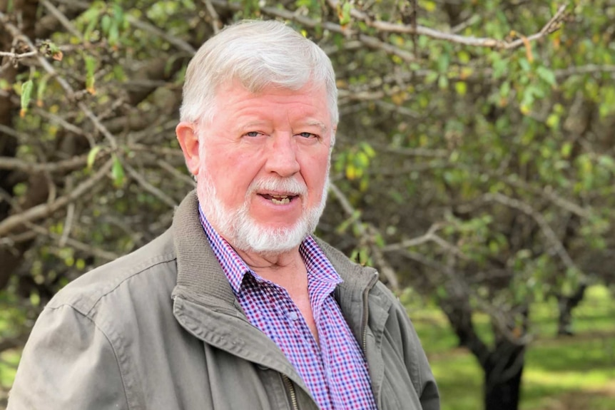 a man with white hair and white beard, wearing a jacket over a checked shirt stand in a bright green orchard of green almond tre