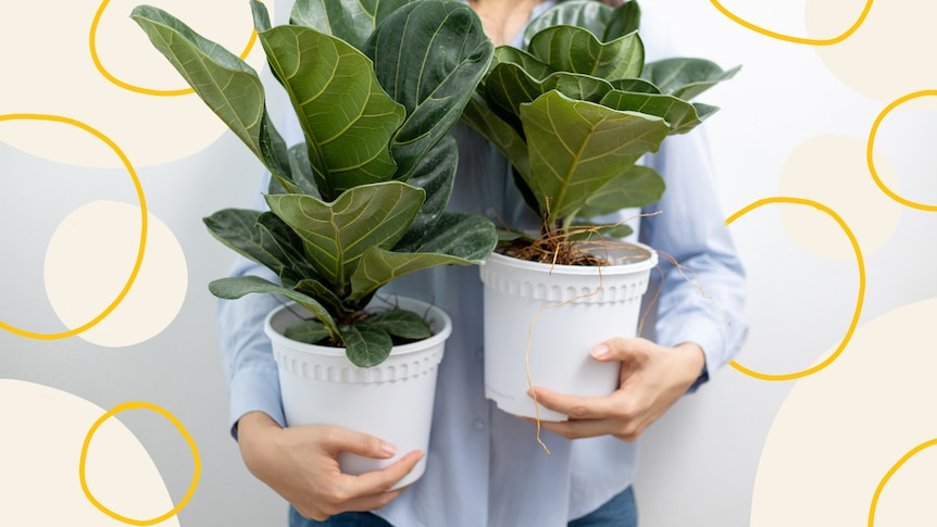 A woman holds two small fiddle-leaf figs.