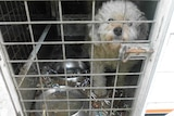 A dog locked in a cage in filthy conditions