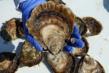 The large and the small. A four year old Angasi oyster compared with a new season spat