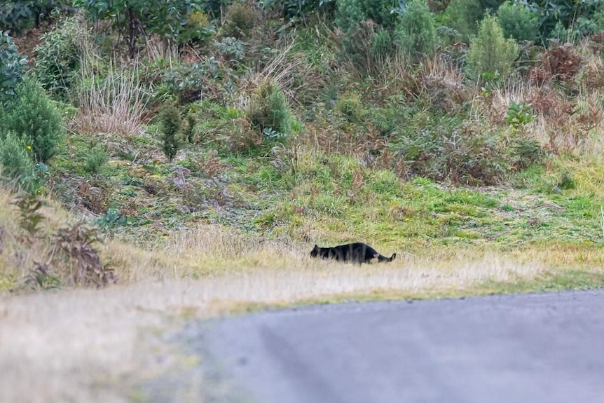 A black, cat-like animal obscured by grass.