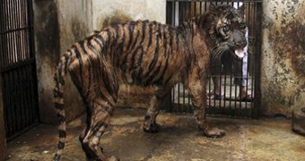 Mistreated tiger in Indonesian zoo