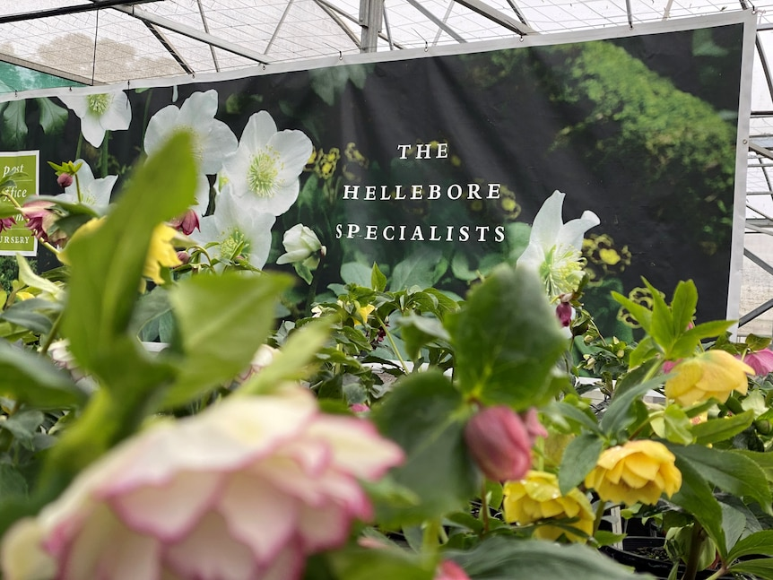 Flowers at a farm with a large sign saying 'The Hellebore Specialist'