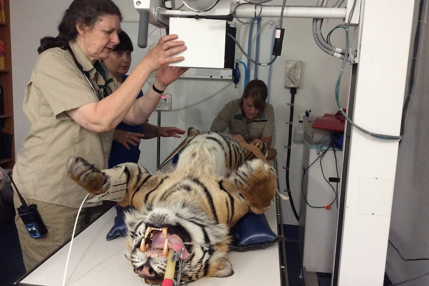 A woman positions a large electronic device over a bench where a tiger lays on its back.