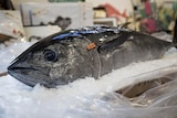 A dead Southern Bluefin tuna sits tagged and on ice