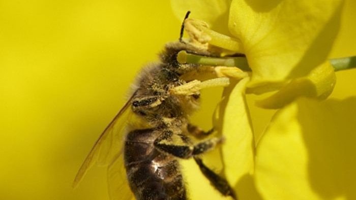 Bee in canola